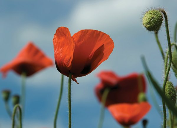 Poppies - Winchelsea beach